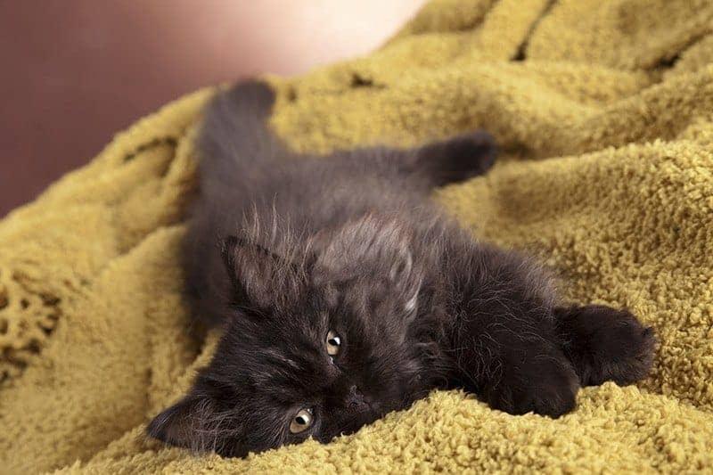 Pierwsza ruja a sterylizacja kotki