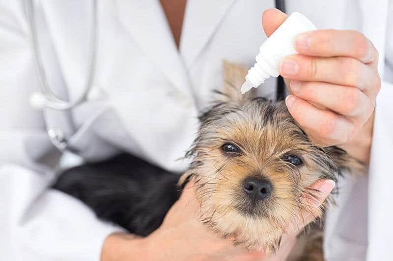 Zapalenie ucha u psa leczenie