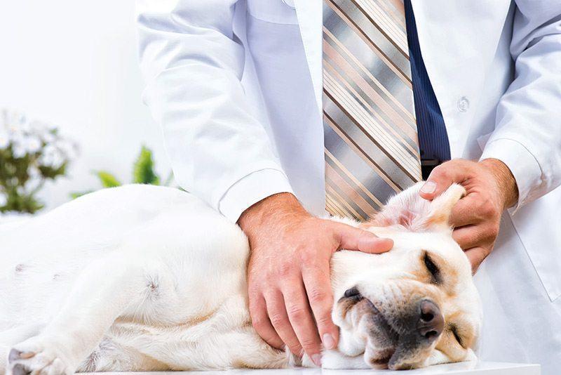 Zapalenie ucha u psa objawy