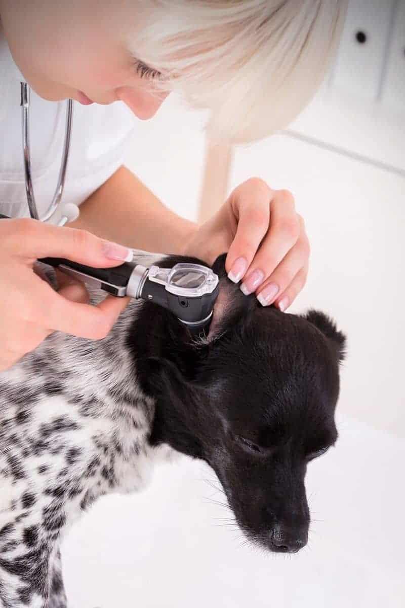Badanie otoskopowe ucha psa