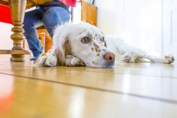 Choroby prostaty dotykają większosci starych psów