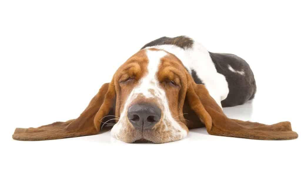 Choroby uszu psa