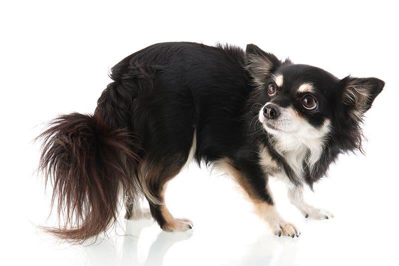 Dlaczego pies boi się fajerwerków?