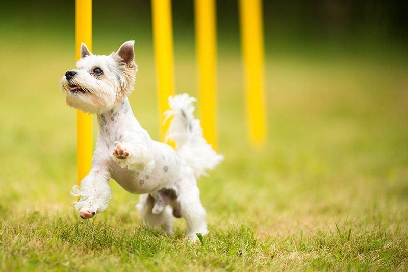 Jak zapobiegać dyskopatii u psów?