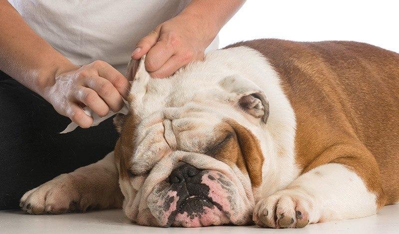 Jak czyścić juszy psa i kota?