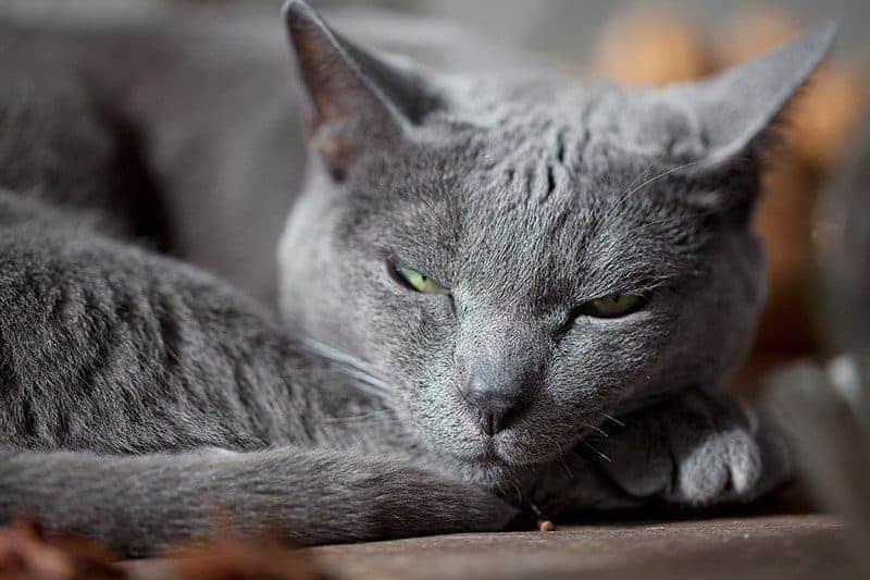 Nadczynność tarczycy u kota zmęczenie po wysiłku fizycznym