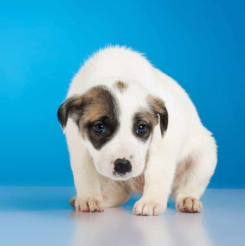 Jak zachowują się psy, które boją się fajerwerków?