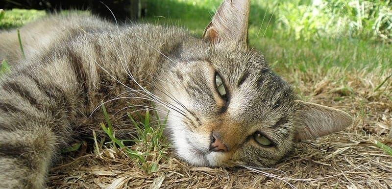 Jak rozpoznać udar cieplny u kota?