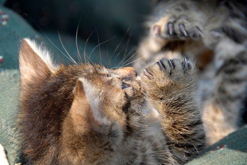 Dlaczego kot jest agresywny podczas zabawy?