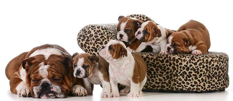 U jakich zwierząt wykonuje się cesarskie cięcie?