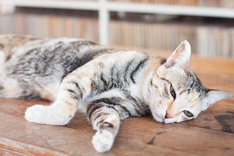 Gorączka u kota objawy