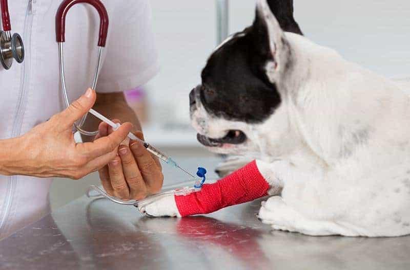 Zapalenie trzustki u psa leczenie