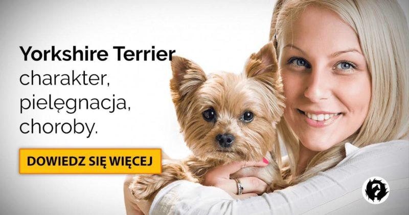 Yorkshire terrier: charakter, pielęgnacja i najczęstsze choroby Yorków