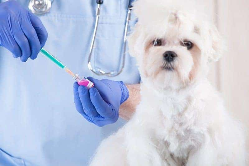 Jak często szczepić dorosłego psa?
