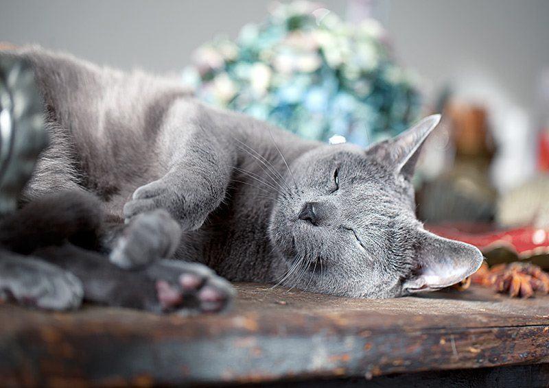 Apatia i szybkie męczenie się mogą wskazywać na nadciśnienie u kota