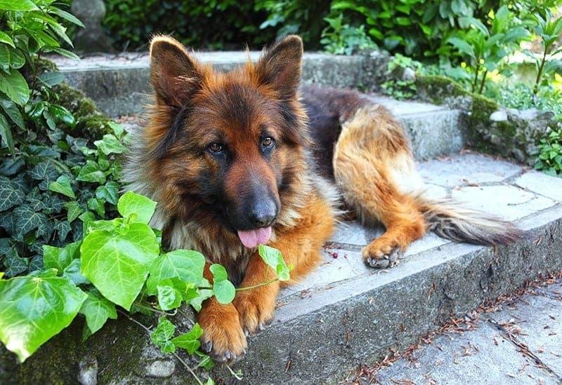 Owczarki niemieckie należą do psów szybko rosnących