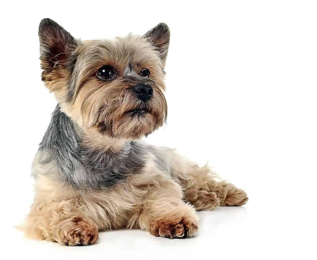 Mały pies to też pies!