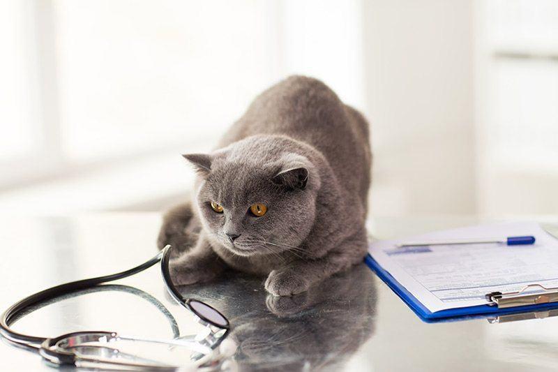 Kardiomiopatia metaboliczna: jakie koty są w grupie ryzyka?