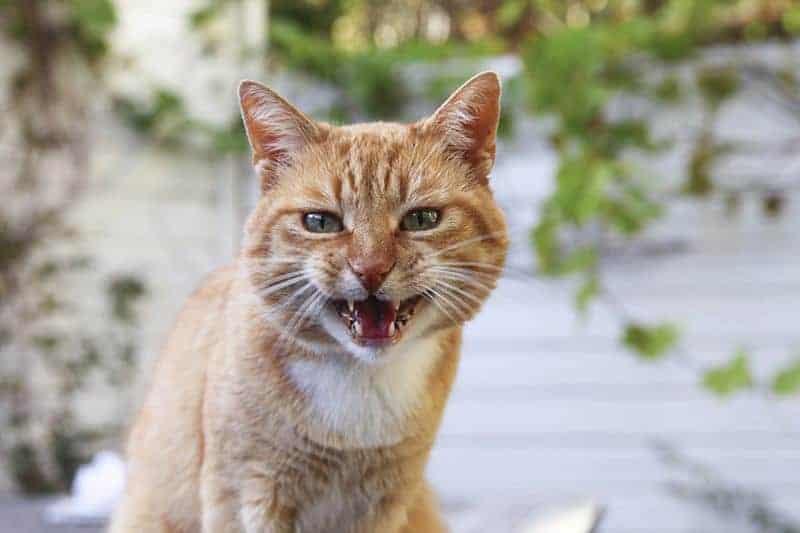Jak oswoić dorosłego kota?