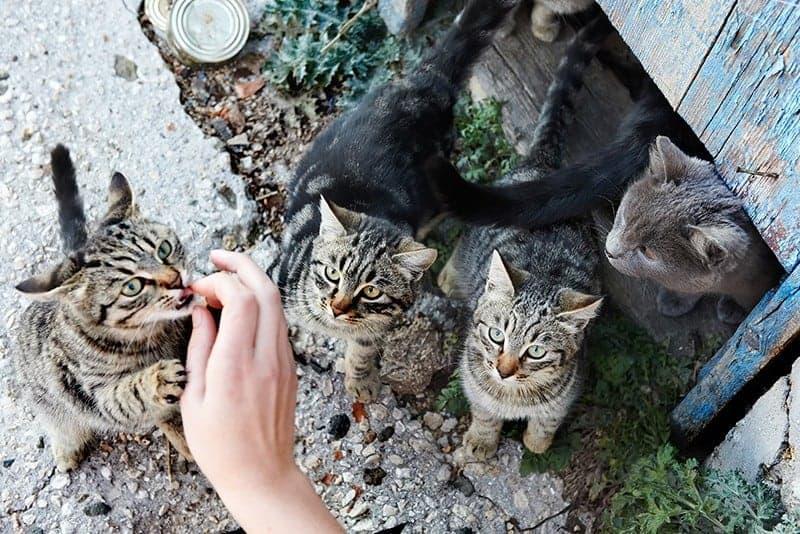 Jak oswoić dzikiego kota?