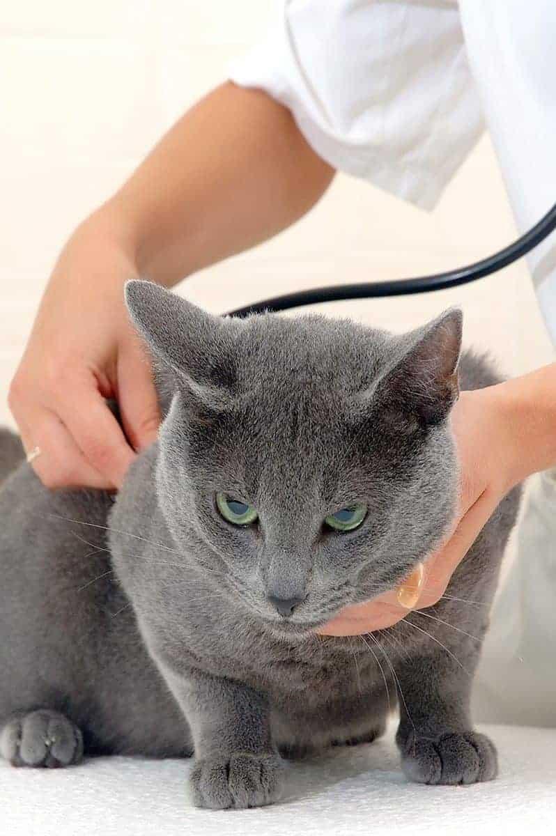 Jak rozpoznać kardiomiopatię przerostową u kota?