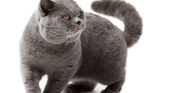 Kot Niebieski Brytyjski