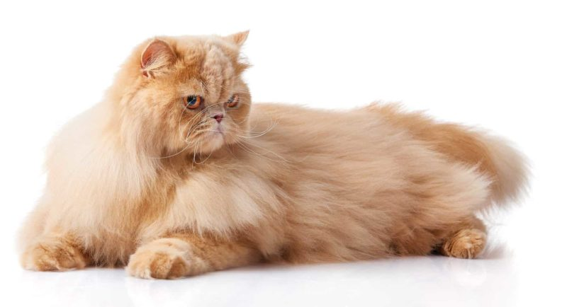 Kot Perski: charakter, pielęgnacja i predyspozycje do chorób