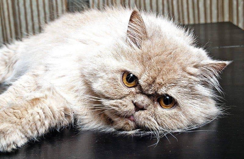 Czy warto zdecydować się na kota perskiego?
