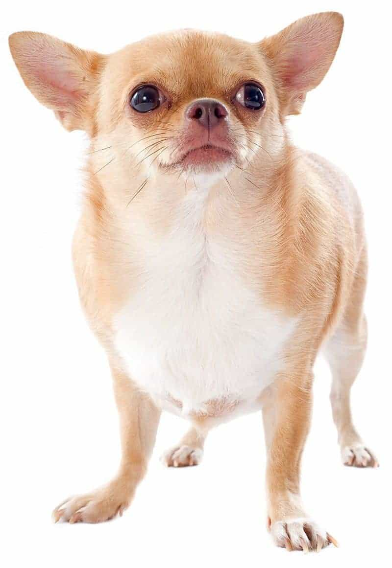 Chihuahua opis rasy