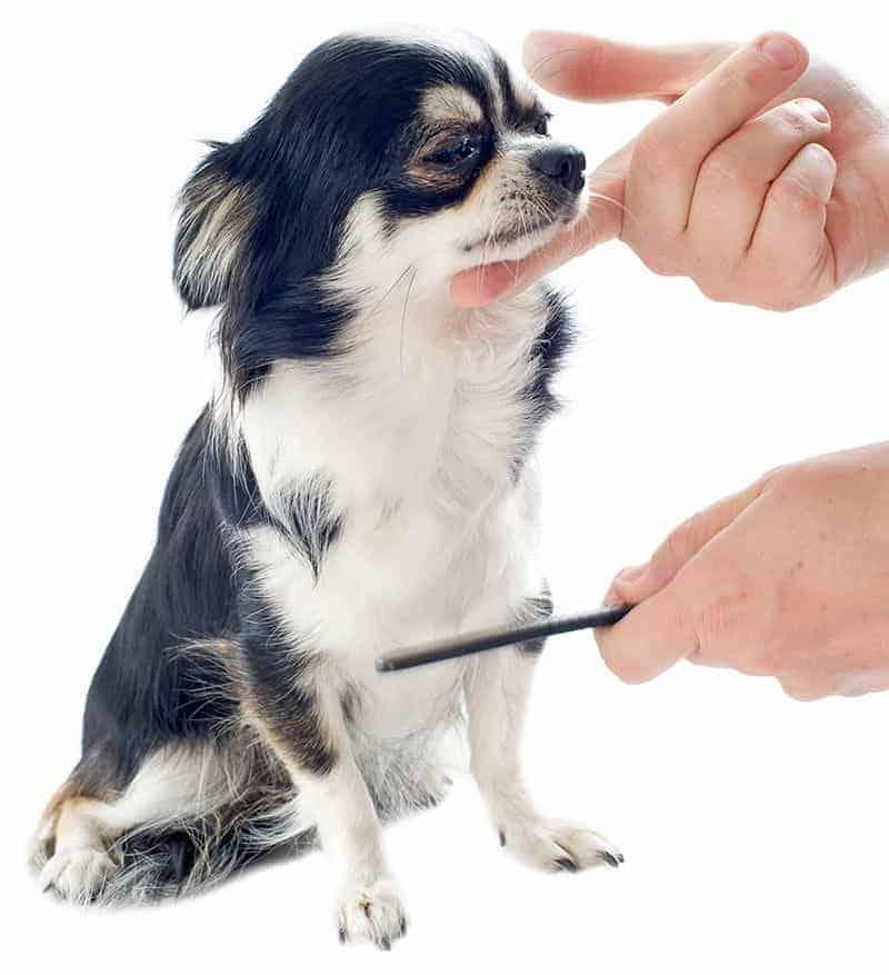 Chihuahua pielęgnacja