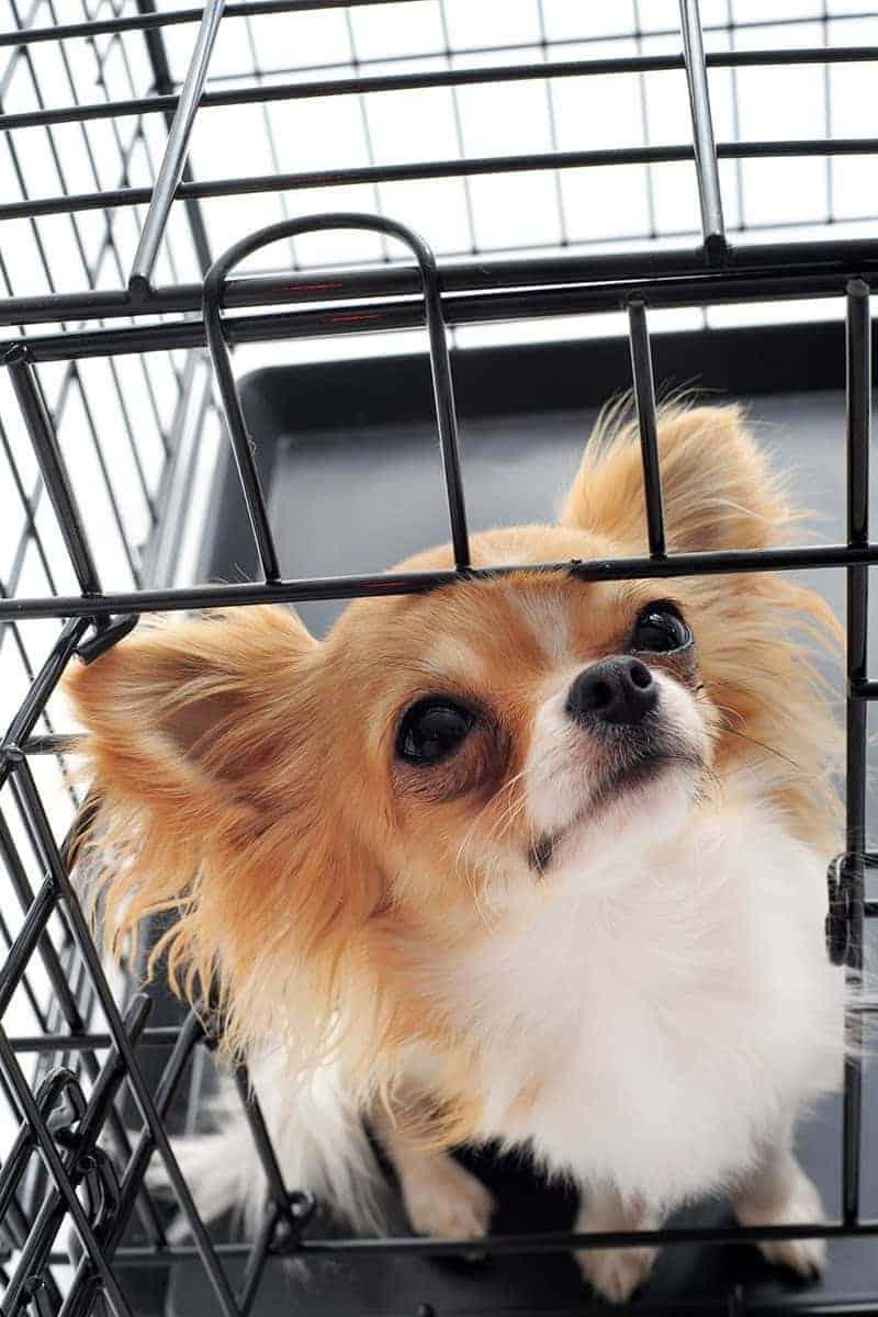 Chihuahua problemy ortopedyczne