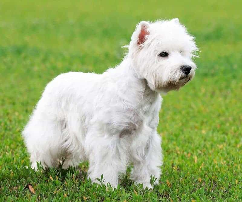 West Highland White Terrier opis rasy