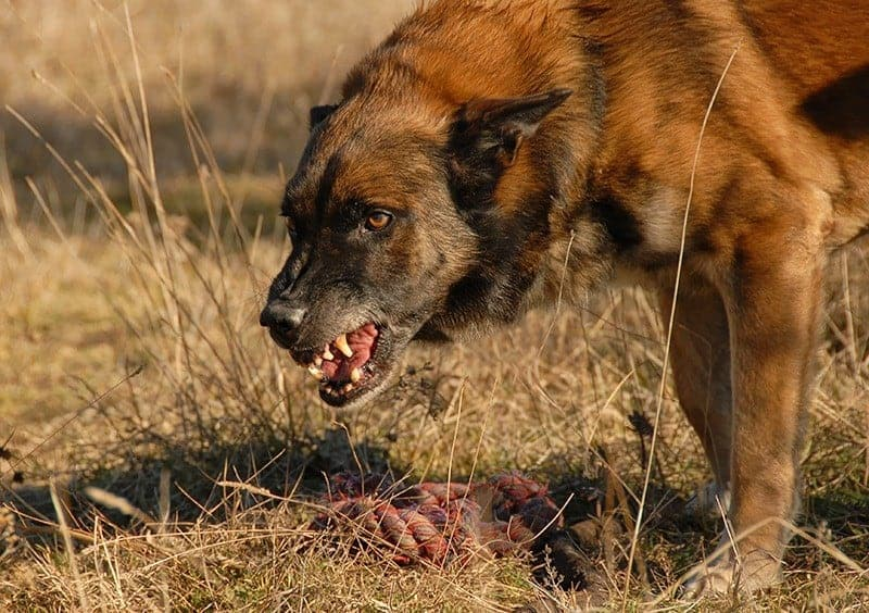 Agresja terytorialna u psa