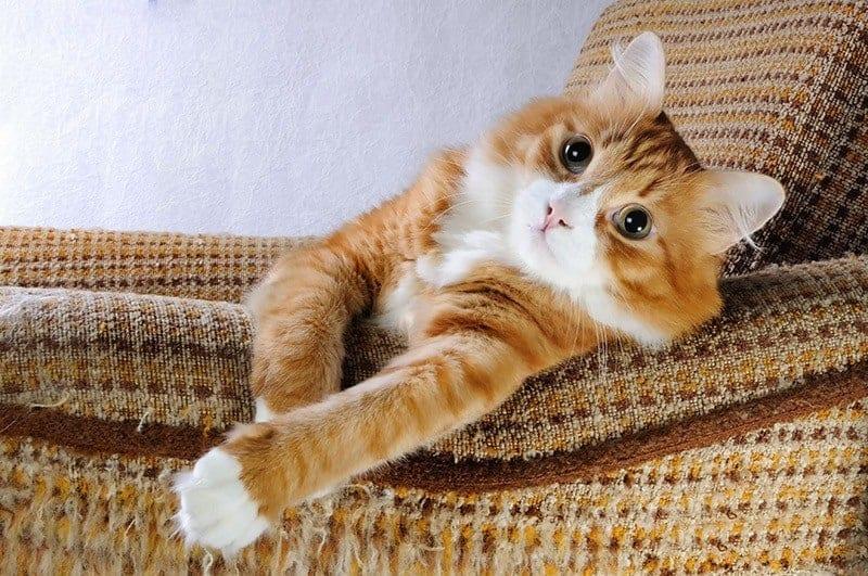 Okres dorosłości kota