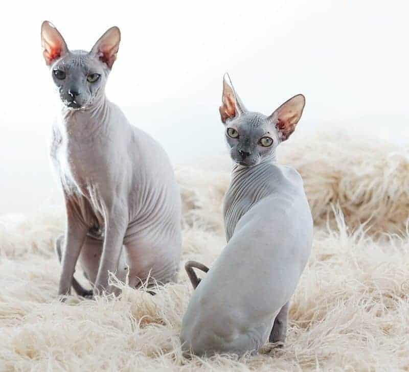 Drugi kot w domu kocur czy kotka?