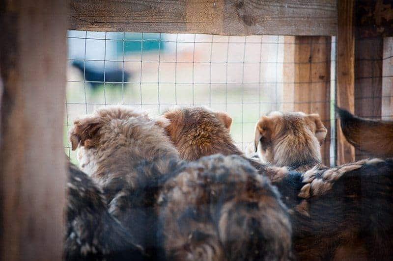 Koprofagia może pojawić się w dużych grupach zwierząt