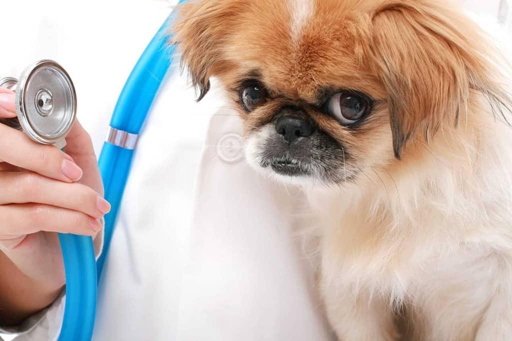 Choroby zastawek u psa i kota