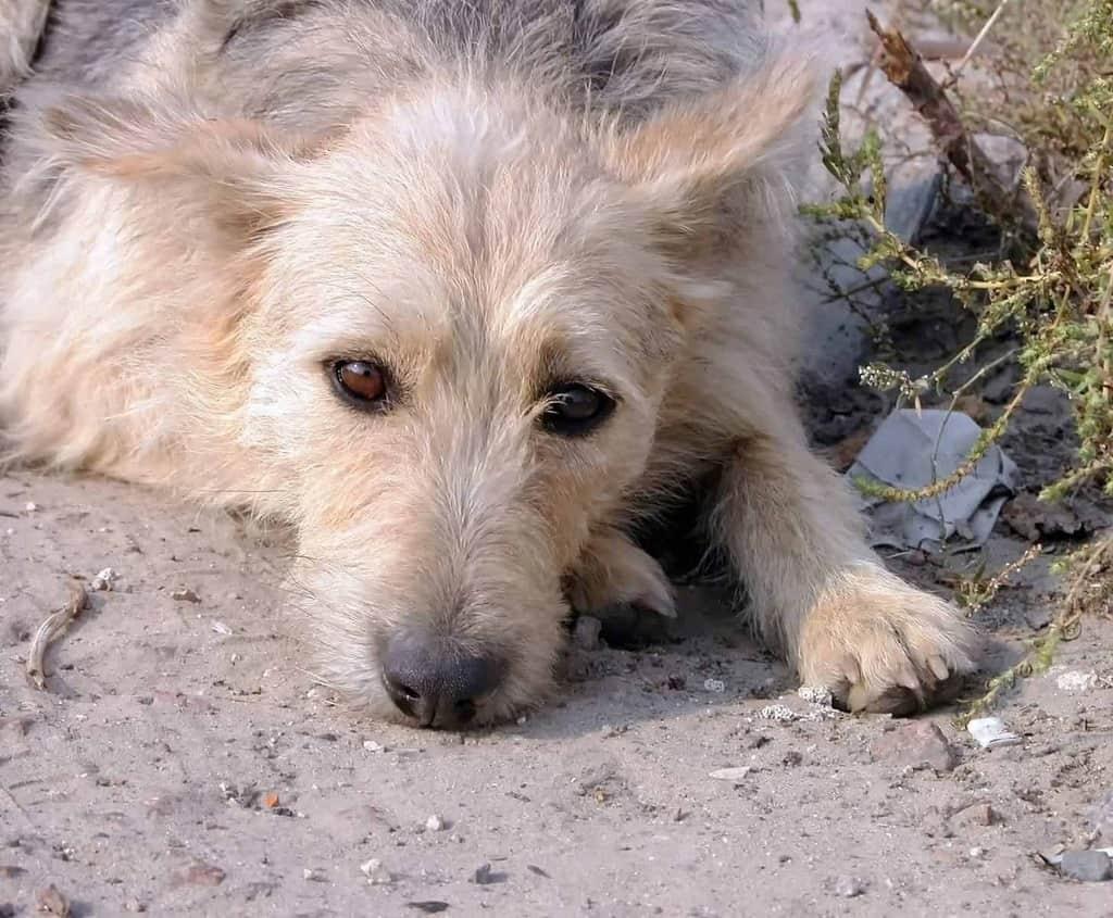 Zespół przedsionkowy u psa