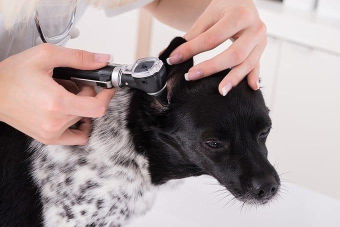 Zespół przedsionkowy u psa: badanie otoskopowe