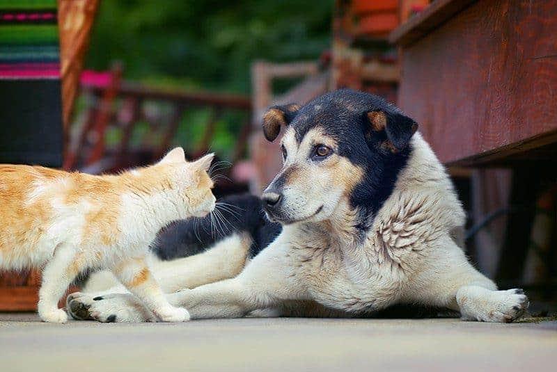 Jak przyzwyczaić psa do kota