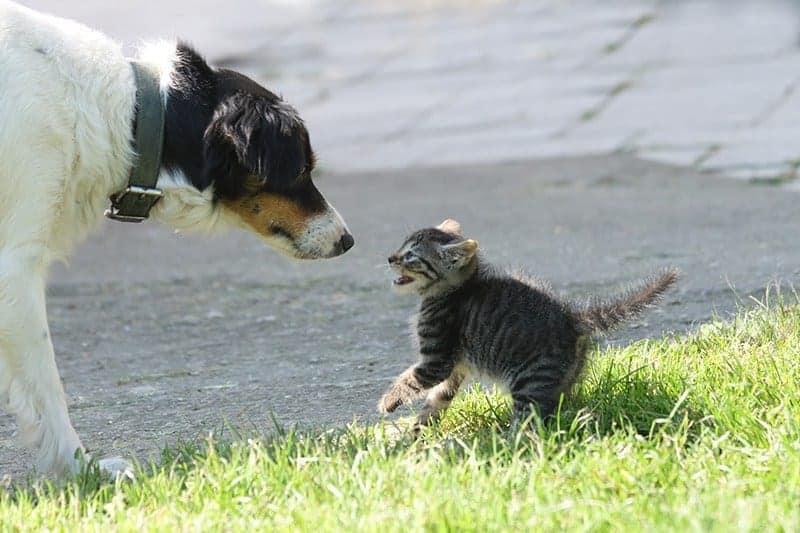Oswajanie psa z kotem: nic na siłę!