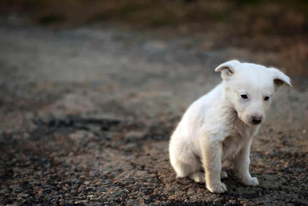 Lamblia u psa