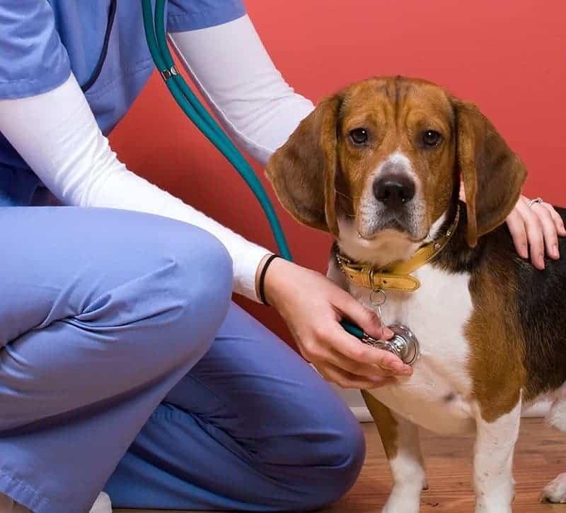 Beagle: charakter, pielęgnacja i choroby [Lek wet Karolina Cebulska]