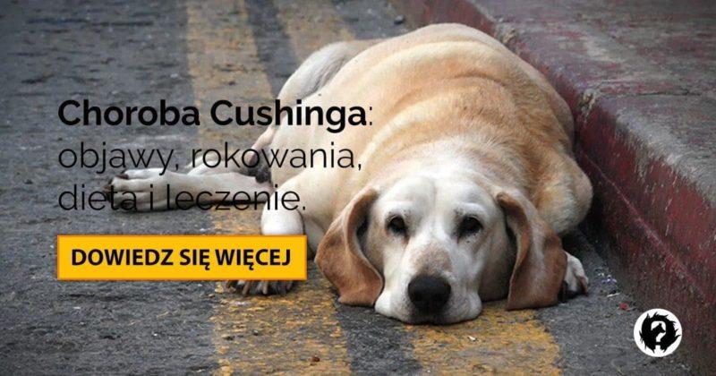 Choroba Cushinga u psa: rokowania, dieta i leczenie zespołu Cushinga