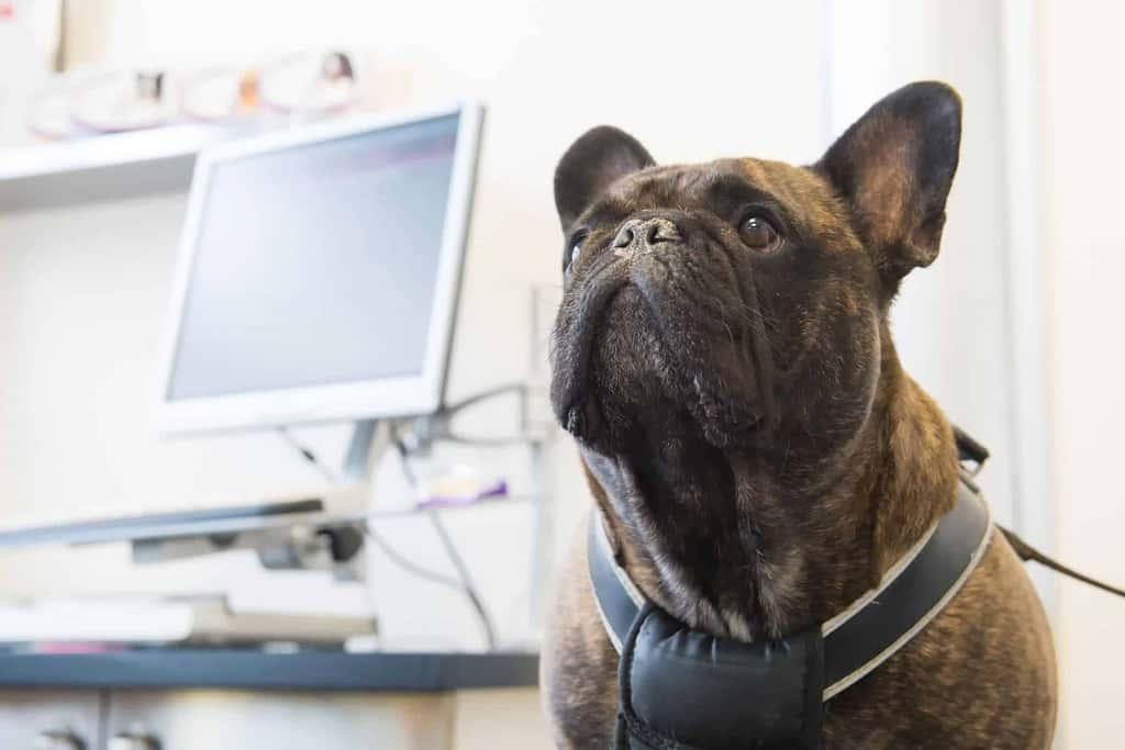 Zespół oddechowy u psa
