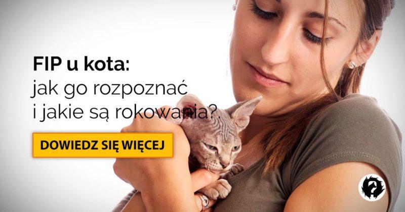 FIP u kota: objawy, rokowanie i leczenie zakaźnego zapalenia otrzewnej