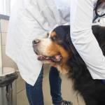 Kardiomiopatia rozstrzeniowa u psa: objawy, leczenie i rokowania