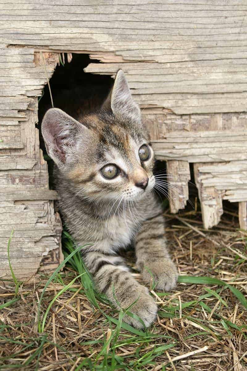 Socjalizacja dzikiego kota