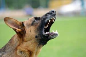 Szczekanie psa: dlaczego pies szczeka i czy można oduczyć psa szczekania?
