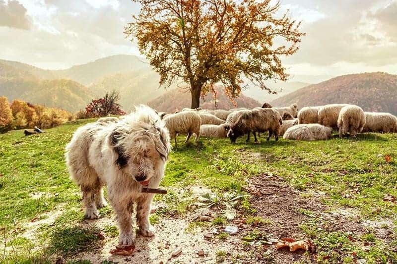 Dzięki szczekaniu pies zyskał przychylność człowieka